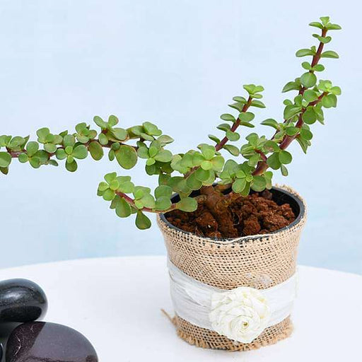 Jade plant with Jute Wrap and Raffia - Nurserylive
