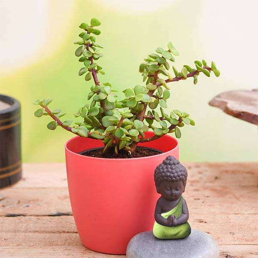 Jade Plant with Praying Buddha to Wish Good Fortune - Nurserylive