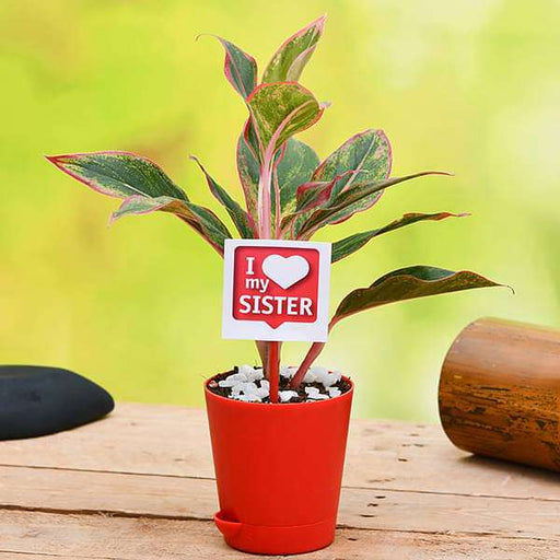 Lovely Aglaonema for Loving Sister - Nurserylive