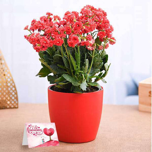 Lovely Kalanchoe for Special One - Nurserylive