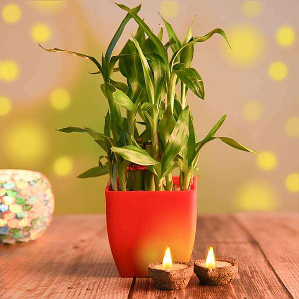 Lucky bamboo with Eco Friendly Diyas - Nurserylive