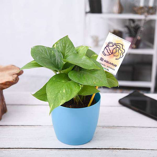 Money Plant for Aquarius or Kumbh Rashi - Plant - Nurserylive