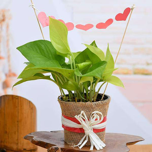 Money Plant with Jute Wrap for True Love - Nurserylive