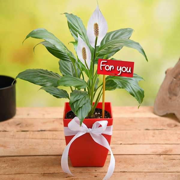 Peace Lily For You - Gift Plant - Nurserylive