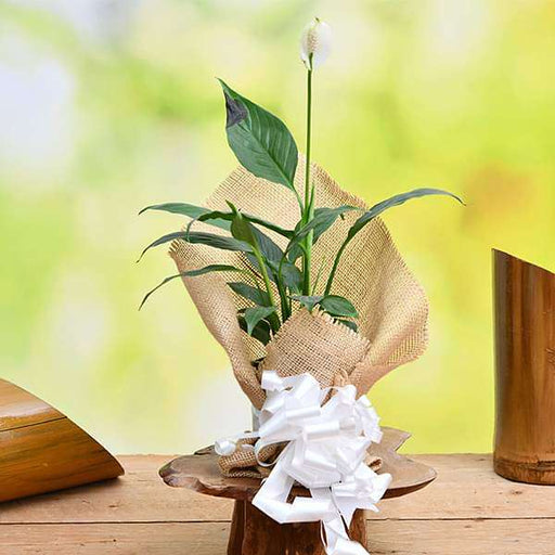 Peace lily with Jute Gift Wrap - Nurserylive