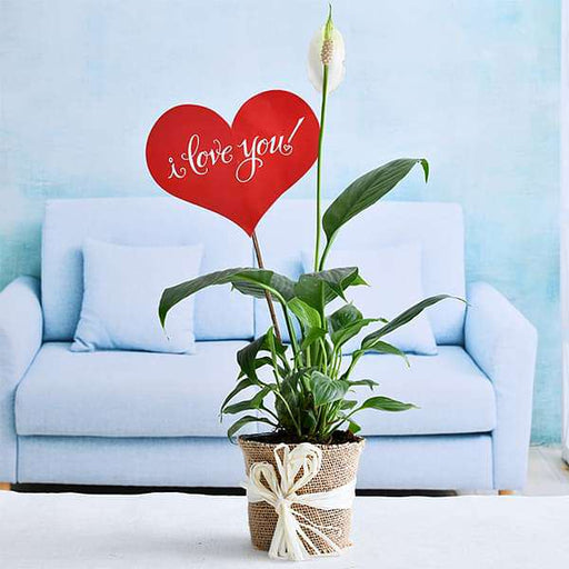 Peace Lily with Jute Wrap for Loved Ones - Nurserylive