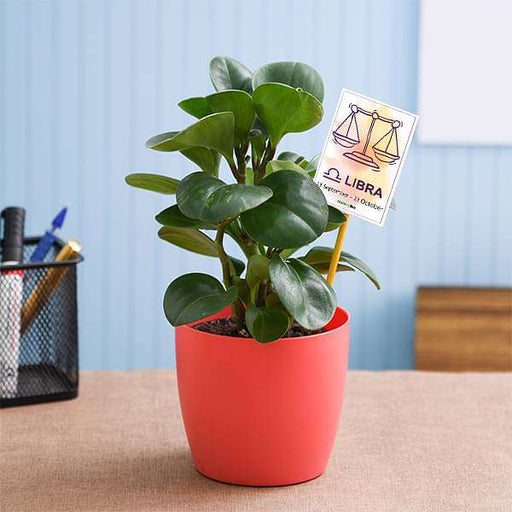 Peperomia for Libra or Tula Rashi - Plant - Nurserylive