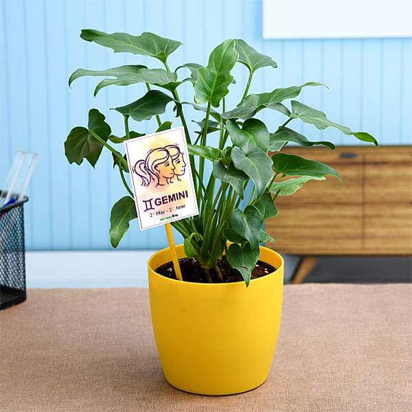 Philodendron for Gemini or Mithun Rashi - Plant - Nurserylive