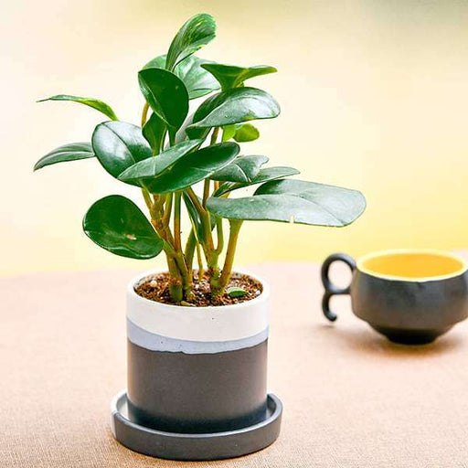 Pleasing Peperomia in Ceramic Pot - Nurserylive