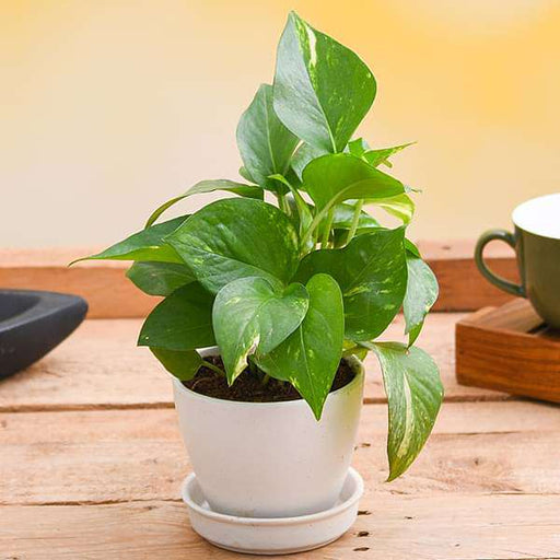 Prosperous Money Plant In Ceramic Pot - Nurserylive