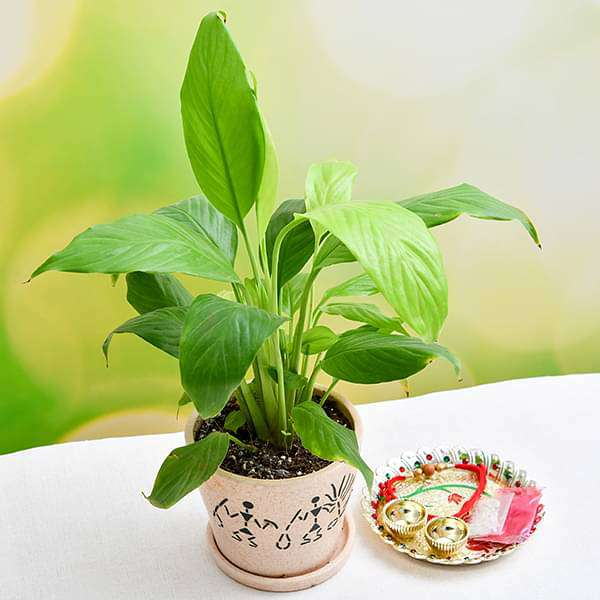Rakhi Celebration with Adorable Peace lily and Decorative Pooja Thali - Nurserylive