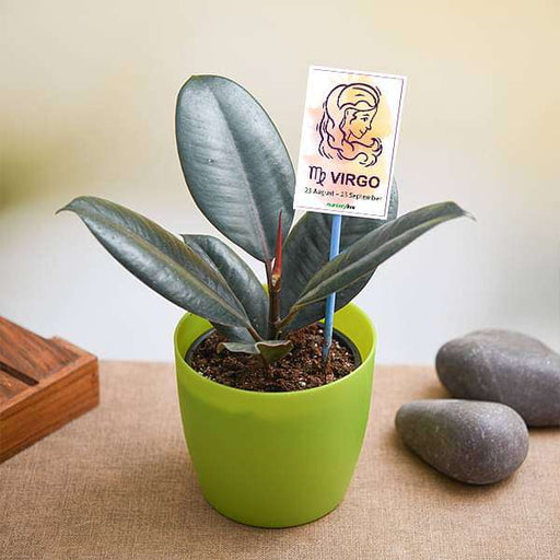 Rubber Plant for Virgo or Kanya Rashi - Plant - Nurserylive