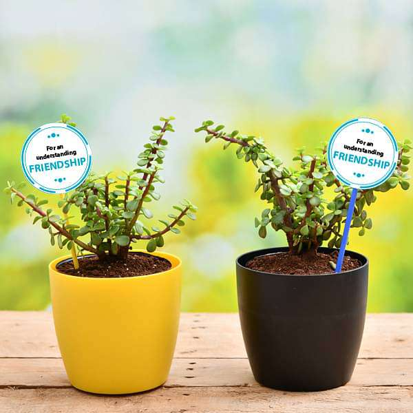 Set of 2 Good Luck Jade Plants for our Adventurous Friendship - Nurserylive