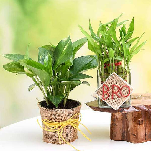 Set of 2 Good Luck Plants for Brother - Nurserylive