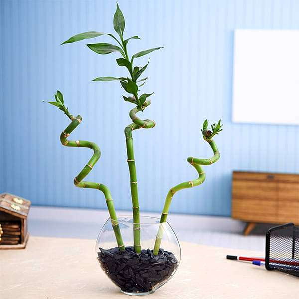 Set of 3 Spiral Sticks Lucky Bamboo in a Glass Vase with Pebbles