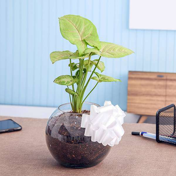 Soothing Syngonium Plant in a Spherical Glass Vase - Nurserylive