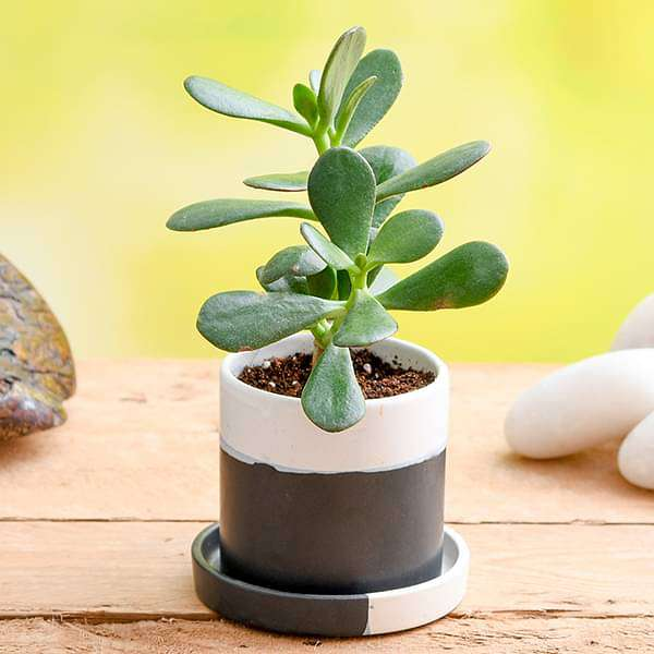 Spectacular Jade Plant in Ceramic Pot for Loving Dad - Nurserylive