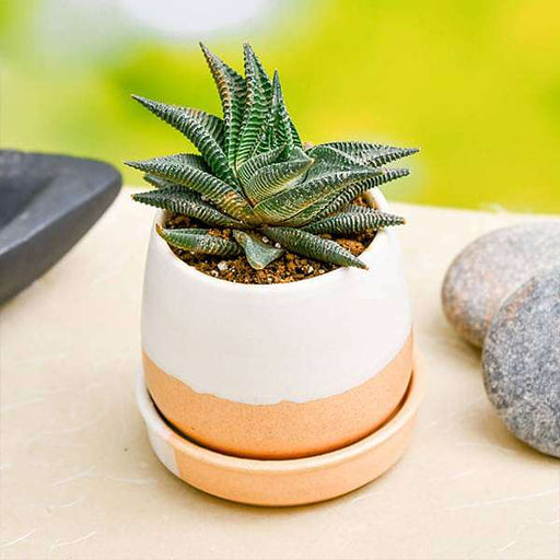 Sturdy Haworthia in Ceramic Pot for Joyful Moments - Nurserylive