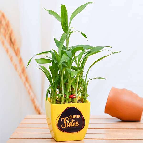 Super 2 Layer Lucky Bamboo for Super Sister - Nurserylive