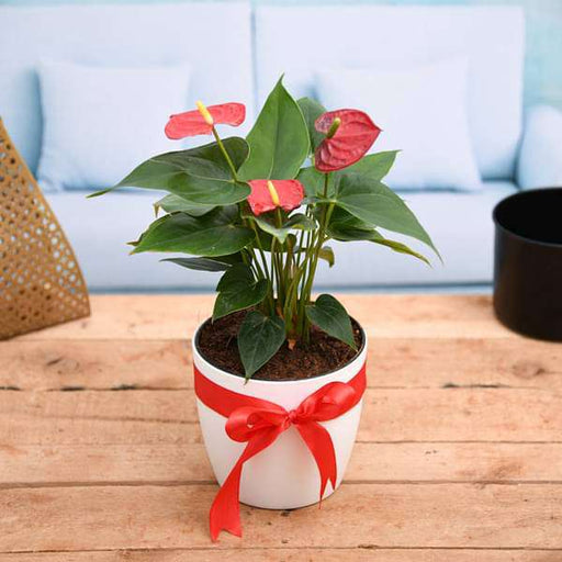Symbol of Endless Love Red Anthurium - Gift Plant - Nurserylive
