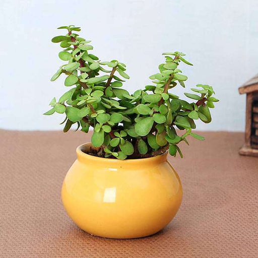 Symbol of Friendship Jade Plant in Handi Pot - Nurserylive
