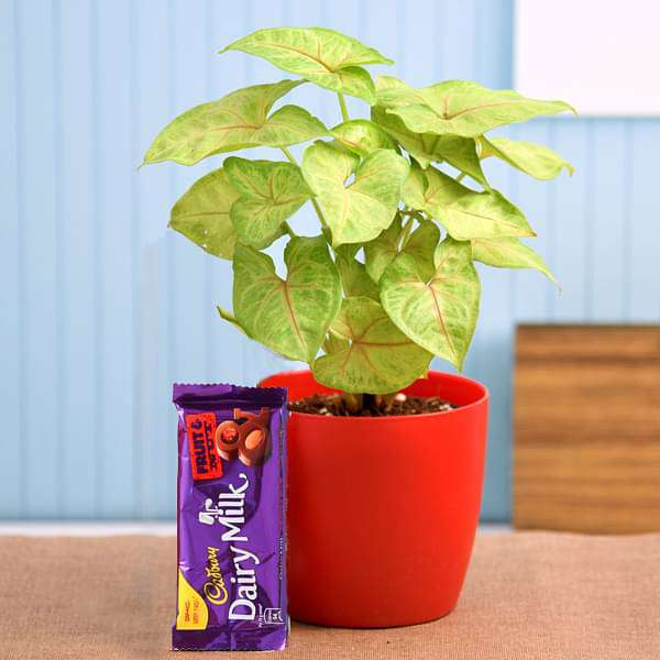 Syngonium Plant for Chocolate Day - Nurserylive