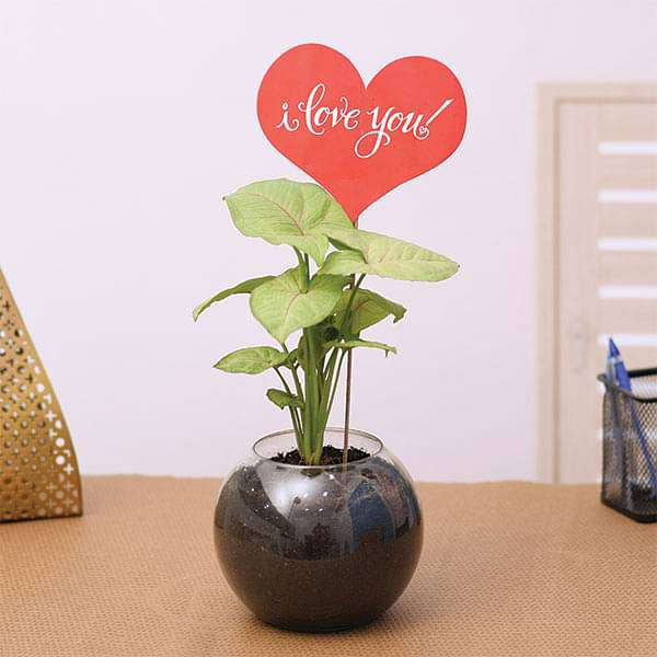 Syngonium Plant in a Spherical Glass Vase for Someone Special