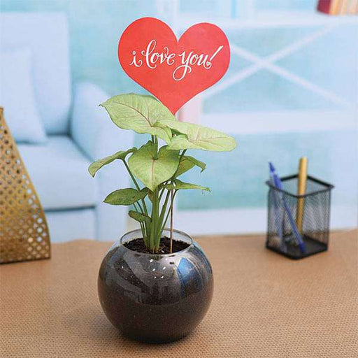 Syngonium Plant in a Spherical Glass Vase for Someone Special - Nurserylive