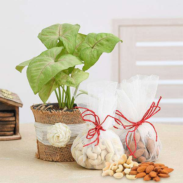 Syngonium Plant with Dry Fruits for Green and Healthy Celebration - Nurserylive