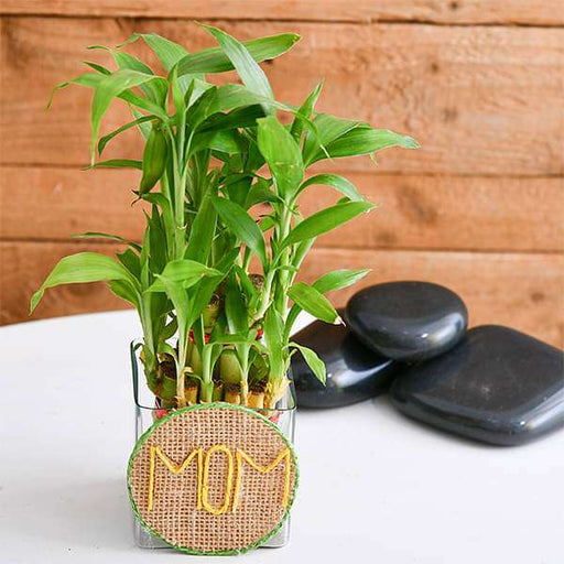 Touch Her Heart with 2 Layer Lucky Bamboo in Decorative Pot - Nurserylive