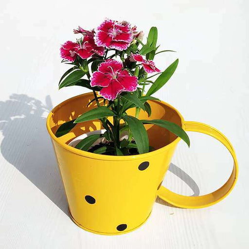 Vibrant Dianthus in Polka Cup- Gift Plant - Nurserylive