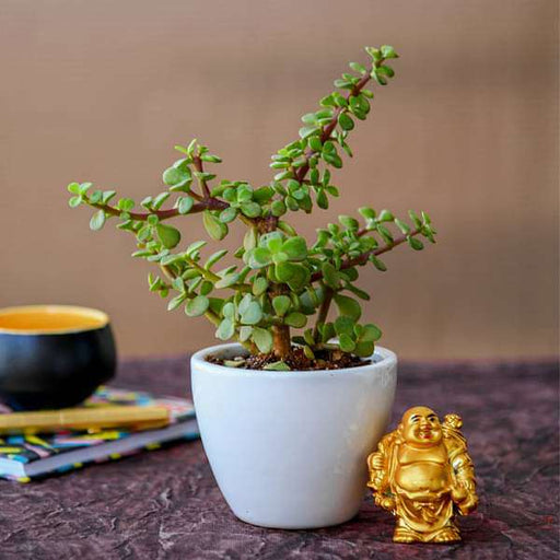Wealth Boomer Jade Plant with Laughing Buddha - Nurserylive