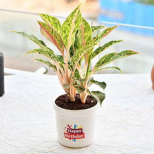 Wish a Joyful Birthday with Aglaonema Butterfly Manis in Ceramic Pot - Nurserylive