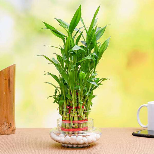 Wish Good Luck with 3 Layer Lucky Bamboo in a Decorative Glass Vase - Nurserylive