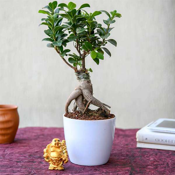 Wish Good Luck with Ficus Bonsai and Laughing Buddha - Nurserylive