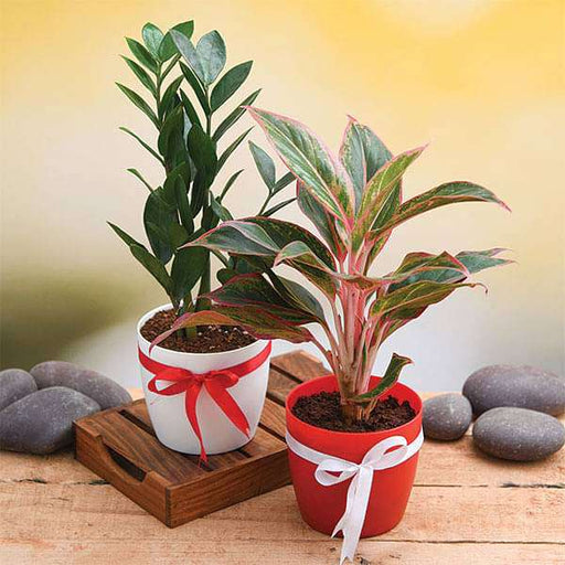 Wish Happiness for your Loved Ones with Evergreen Indoor Plant Pack - Nurserylive
