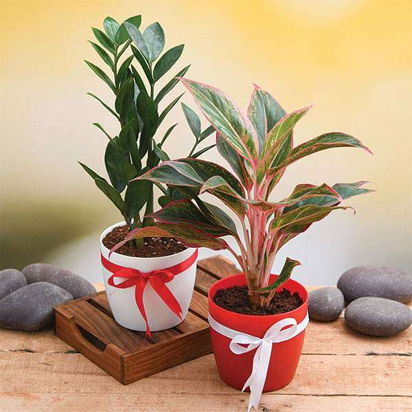 Wish Happiness for your Loved Ones with Evergreen Indoor Plant Pack