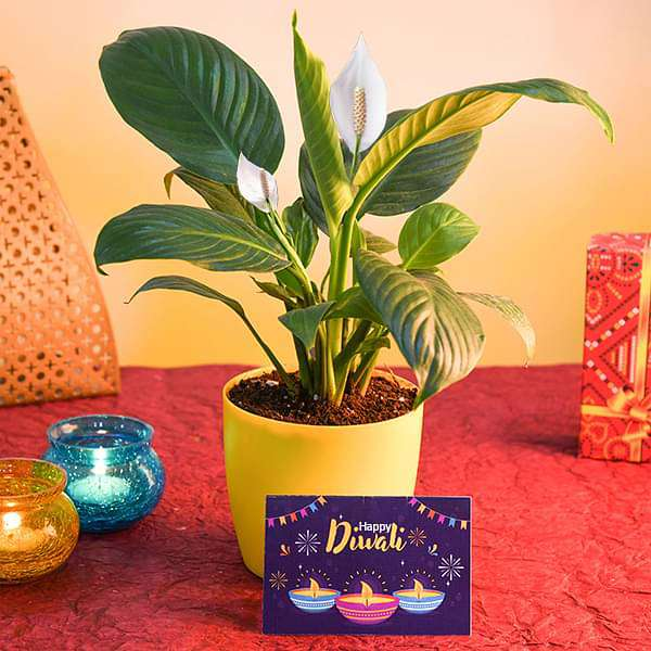 Wish Happy Diwali with Peace lily and Greeting Card - Nurserylive