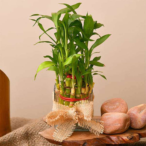 Wish Luck and Prosperity with 2 Layer Lucky bamboo - Nurserylive