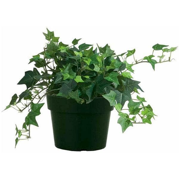 Buy Hedera Helix English Ivy Plant Online From Nurserylive At Lowest Price