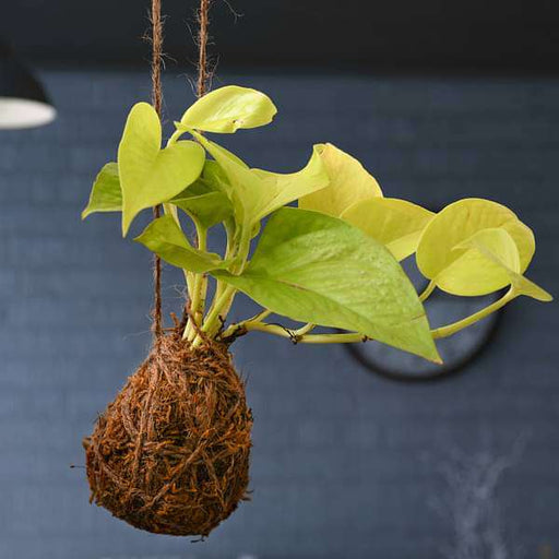 Air Purifier Golden Money Plant Moss Ball - Kokedama - Nurserylive