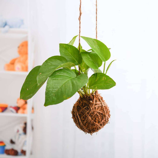 Air Purifier Green Money Plant Moss Ball - Kokedama - Nurserylive