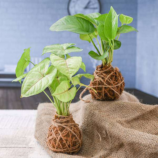 Elegant Moss Balls for Beautiful Surrounding - Kokedama - Nurserylive