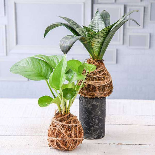 Indoor Air Purifier Moss Balls - Kokedama - Nurserylive