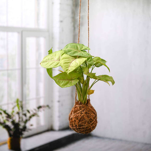 Low Maintenance Syngonium Plant Moss Ball - Kokedama - Nurserylive