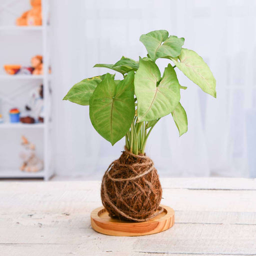 Low Maintenance Syngonium Plant Moss Ball with Plate - Kokedama - Nurserylive