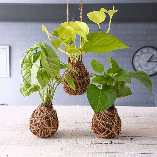 Pack of 3 Trendy Moss Balls - Kokedama - Nurserylive
