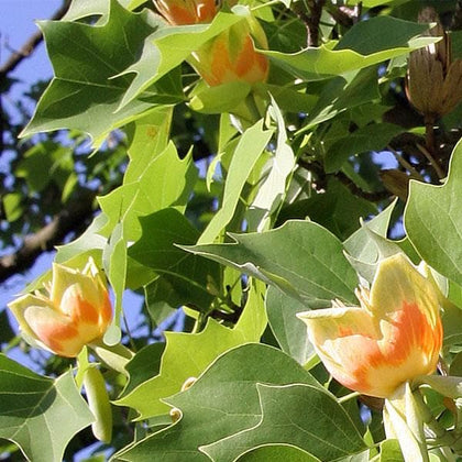 Buy Liriodendron Tulip Tree Tulip Poplar Plant Online From Nurserylive At Lowest Price