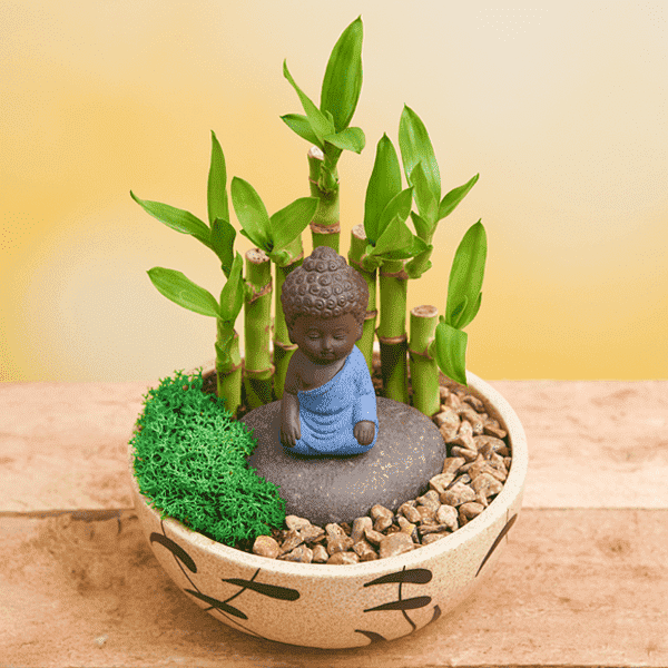 Buy 7 Lucky Bamboo Stalks in Ceramic Pot with Buddha Idol online from  Nurserylive at lowest price.