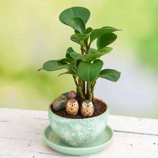 Cute Owls with Peperomia - Miniature Garden - Nurserylive